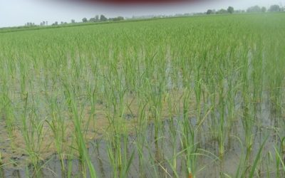 Direct Seeded Rice (DSR) Technology- A hidden gem