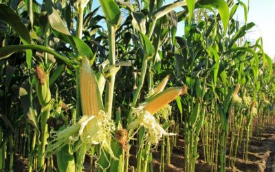 RuralMarketing : GM Crops One step towards Aatma nirbhar Bharat