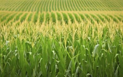 Socioeconomic Impact of GM Crops : Benefits and Contributions