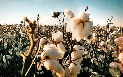 The Success of Transgenic Crops