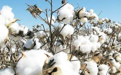 Bloombergquint – Government Hikes Bt Cotton Price By 5% To Rs 767 Per Packet For 2021-22