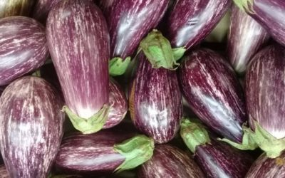 The Print – How Modi govt has 'scuttled' GM farming in India by moving Bt Brinjal trials to states