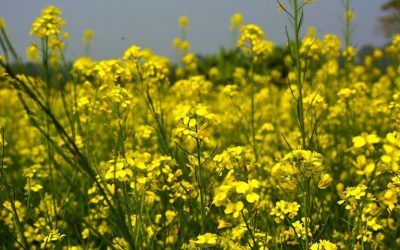 Outlook India – Seed industry upset over govt disallowing trials of GM crops